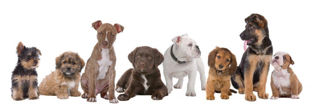 Små och stora hundar